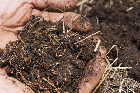 Soil and worms from a worm farm in a farmers hands Stok Fotoğraf