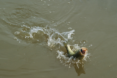 A hooked large mouth bass jumping as it is brought to shore