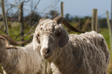 A close up of a mohair goat in natural light