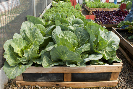 Cabbages growing in a raised bed pallet garden