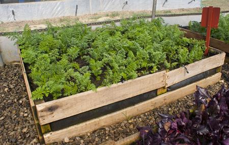 Karotten wachsen in einem Hochbeetpalettengarten Standard-Bild