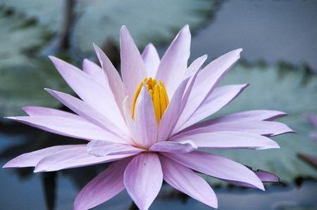 nymphaea: Pink closed lotus Nelumbo nucifera flower over green background Stock Photo