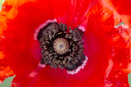 The whole focus on the stamen, the heart of this beautiful anemone and the vivid red petals just ripple and flow .