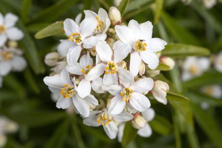 orange blossom: Mexican Orange Blossom Choisya Ternata white flower