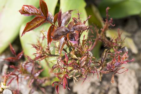 rose bush: Rose bush disease pest parasite leaf  garden