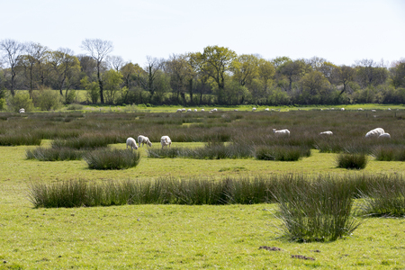 daubed: Sheep grazing peacefully on the green field marsh swamp