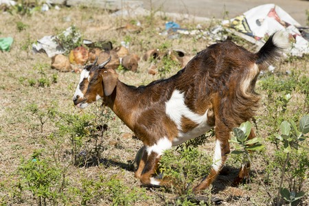 brown goat: Young brown goat eat household waste India Tamil Nadu