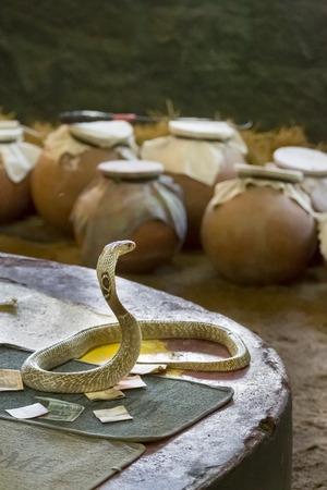 charmed: Indian cobra snake venomous charmed for show Tamil Nadu