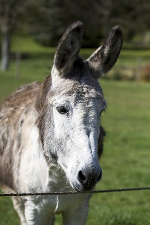 face close up: Close up of donkey watching front face grass