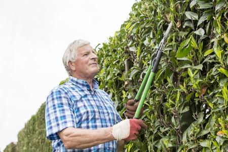 庭のフランスで年配の男性切断ヘッジ
