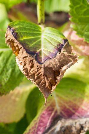 Disease of hydrangea due to frozen winter close up