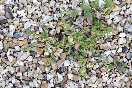 Weeds parasites pests, dandelion, grass in gravel before herbicide, weedkiller, weed whacker