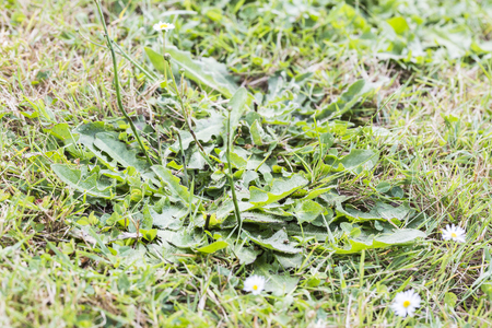 cotswold: Weeds parasites pests, dandelion, in lawn grass before herbicide, weedkiller, weed whacker Stock Photo