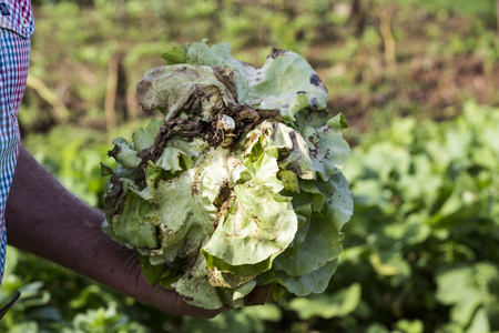 muddy: man picking fresh lettuce from his garden France Stock Photo
