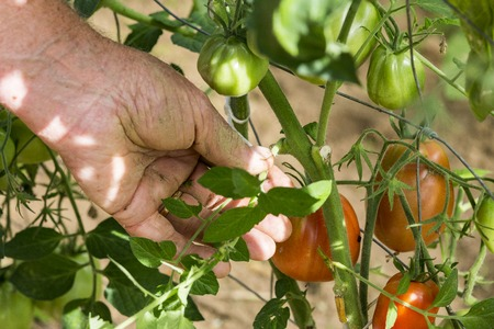 man is pruning tomato plant branches in the greenhouse , worker pinches off the shoots or suckers that sprout from the stem of tomato in the crotch right above a leaf branch Stock Photo