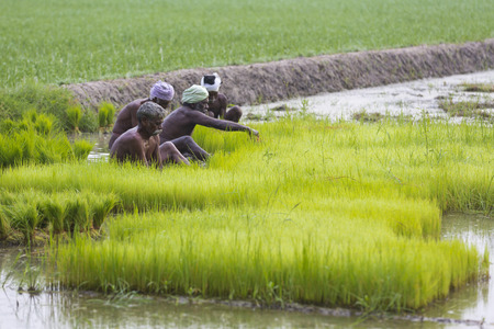 PONDICHERY, PUDUCHERY, INDIA - CIRCA SEPTEMBER 2017. Unidentified farmers grow uproot rice in the rainy season. They were soaked with water and mud to be prepared for planting. Organic and hand made agriculture. Editorial