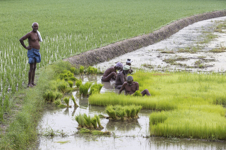 PONDICHERY, PUDUCHERY, INDIA - CIRCA SEPTEMBER 2017. The boss look at unidentified farmers grow uproot rice in the rainy season. They were soaked with water and mud to be prepared for planting. Organic and hand made agriculture. Editorial