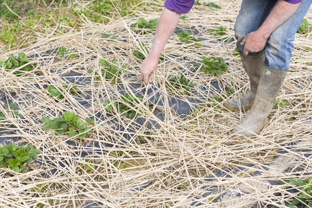 Young Strawberry Plants growing on a bed of straw mulch, with the hand of the gardener senior.