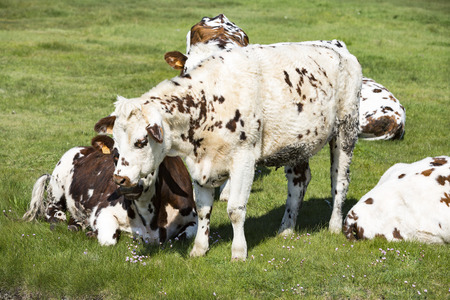 Cow in a field, on grass. Cow on pasture outdoors, agriculrure. Normande race breed, from Normandy, France. White and brown cow. Banco de Imagens - 101781713