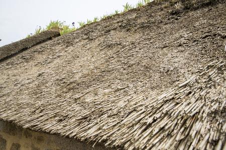 Close up view of thatched roof disease mushroom, micro-seaweed, algae, Normandy, France.