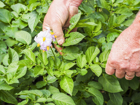Farmer controlling growth of potato plants in vegetable garden, homegrown organic food production, France