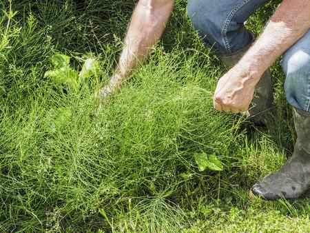 Hands of the gardener in equisetum arvense. Horsetail. Equisetum. Snake grass. Use for medicine