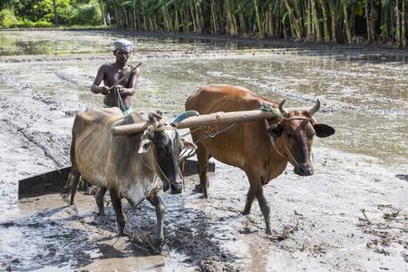 Pondichery, Puducherry, Tamil Nadu, Indie - około września 2017 r. Rolnicy orają pole rolne w tradycyjny sposób, gdzie pług jest przymocowany do byków