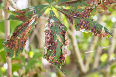 Damage to the leaves of the chestnut miner moth (Cameraria ohridella). Fungal disease mushroom conidium ascopore canker phytophthora epidemic Фото со стока