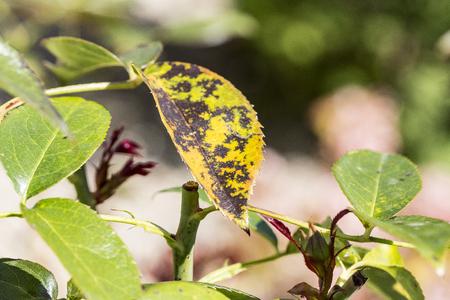 plant disease, fungal leaves spot disease on rose bush causes the damage. 版權商用圖片