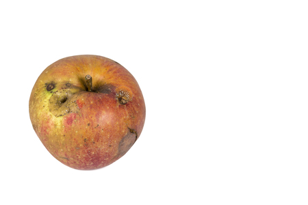Boring trace of a codling moth Cydia Pomonella, in a wormy apple. On white background. Place to write