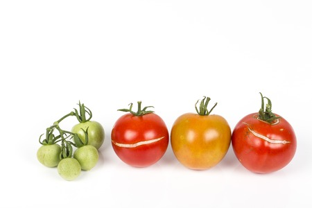 3 Split, cracked tomatoes due to rain after drought, with small green tomatoes grapeGardening problem. On white background.