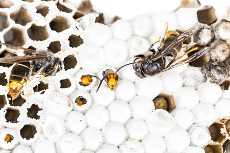 Close up of alive and dead asian hornet wasp head on nest honeycombed insect macro. Poisonous venom animal colony. Concept of danger in nature