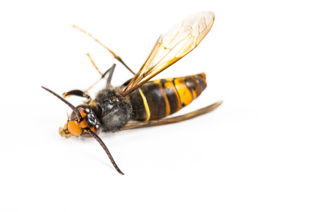 Close up of dead asian hornet wasp insect macro in white background. Poisonous venom animal colony. Concept of danger in nature Stock Photo
