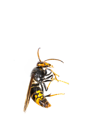 Close up of dead asian hornet wasp insect macro in white background. Poisonous venom animal colony. Concept of danger in nature Reklamní fotografie