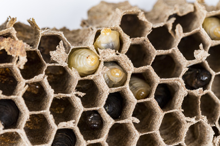 Close up of asian hornet wasp nest honeycombed insect macro with larva larvae alive and dead. Poisonous venom animal colony. Concept of danger in nature