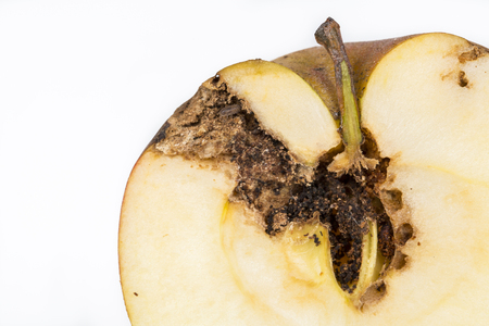 Close up Boring trace of a codling moth Cydia Pomonella, in a half middle wormy apple. On white background. Scab, oidium, mushroom