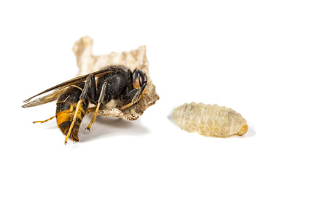 Close up of dead asian hornet wasp larva larvae insect macro in white background. Poisonous venom animal colony. Concept of danger in nature Stock Photo