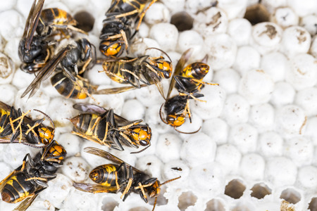 Close up of dead asian hornet wasp on nest honeycombed insect macro. Poisonous venom animal colony. Concept of danger in nature