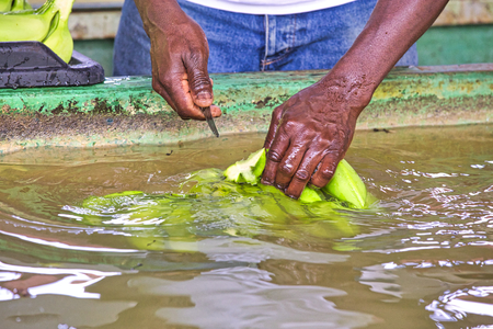 close up black hands man cutting the green banana branches at banana farm in water to clean before packung