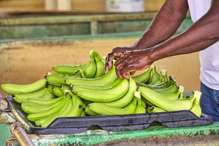 Black man worker hands close-up preparing to pack bananas in a factory