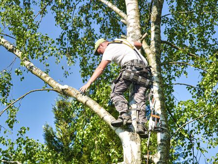 Close-up mature professional male tree trimmer high in top birch