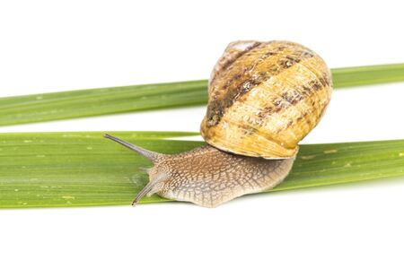 Big brown snail alive with medicine on green leaf on white background. Concept new medicine with natural organic animals