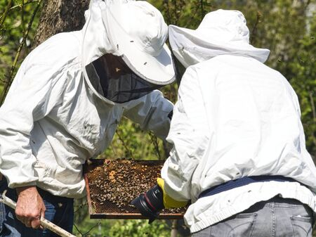 Photographer taking pictures and videos of apiarist in garden, with bees flying around the beekeeper. Authentic scene of apiculture life