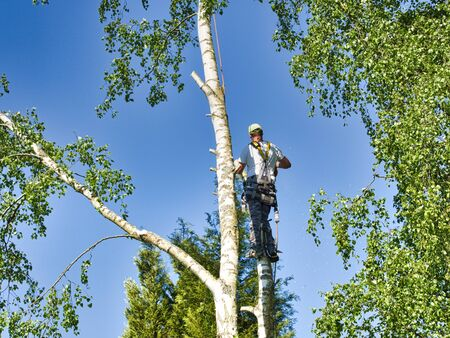 Close-up mature professional male tree trimmer high in top birch tree cutting branches with gas powered chainsaw and attached with headgear for safe job. Expert to do dangerous work. Stock Photo