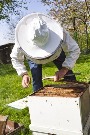 Beekeeper pulling out wooden frame with honeycomb from beehive using frame grip tool. To rotate brood, to run a bee-yard, to split a hive, to check the spring build-up . Authentic scene of rural life Stockfoto