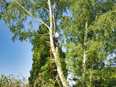 Mature professional male tree trimmer high in top birch tree cutting branches with gas powered chainsaw and attached with headgear for safe job. Expert to control dangerous work.