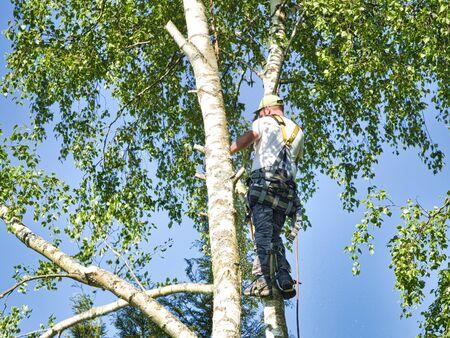 Coupe-arbres mâles professionnels matures en gros plan haut dans les branches de bouleau supérieur avec tronçonneuse à essence et attaché avec un couvre-chef pour un travail sûr. Expert pour effectuer des travaux dangereux.