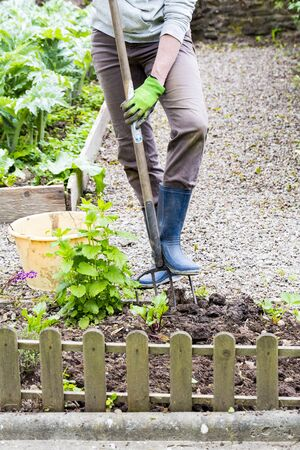 Mature woman hand with gloves taking out weeds plants from earth and using fork. Authentic gardening scene in spring time.