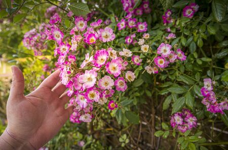 Close-up rose plant with pink flower infected by many green aphids, with woman hand, at golden hour Stock Photo