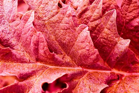 Background red textured vibrant color leaf. Graphic ressource